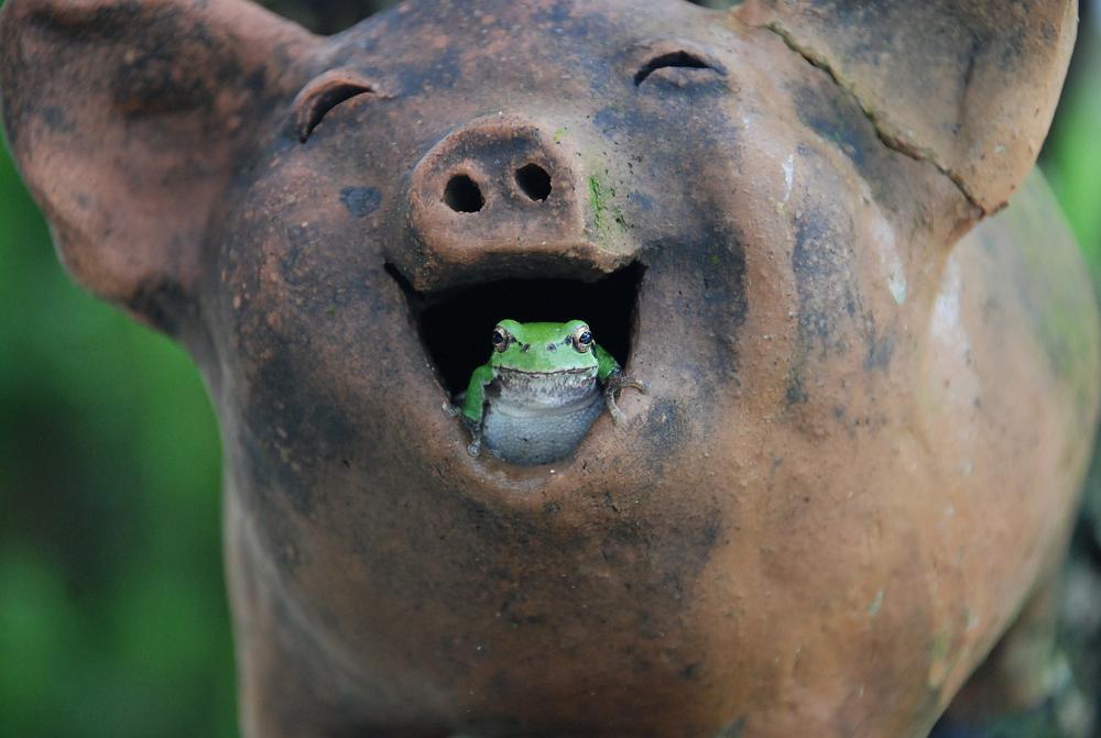 schwein_frosch_lachen